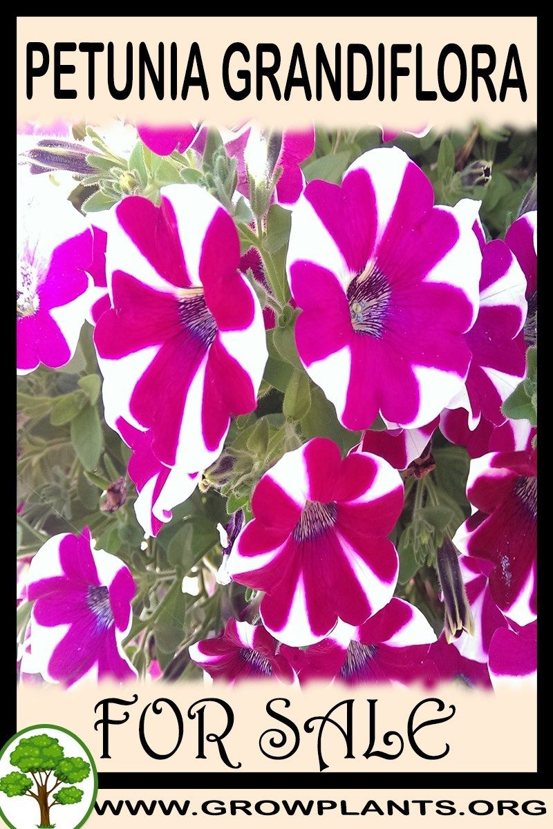 Petunia Grandiflora For Sale Petunias Petunia Plant Plants