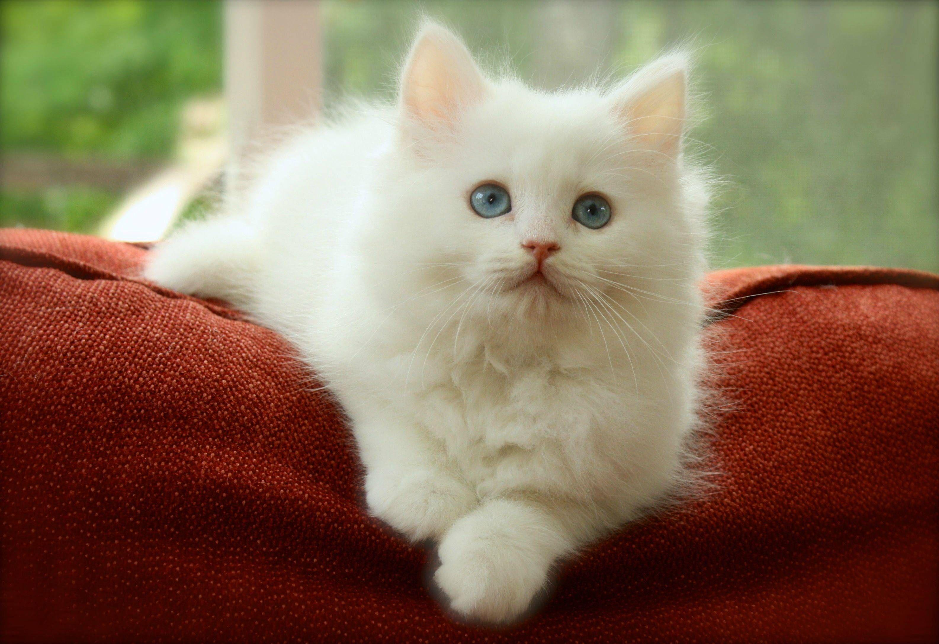 Introducing vladimir our new russian siberian kitten
