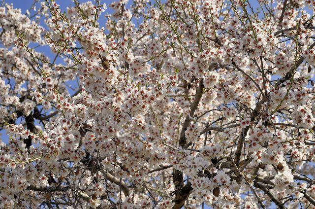 Jardin japonais les plantes et arbres pour un jardin zen jardin pinterest amandier en - Arbre pour jardin japonais ...