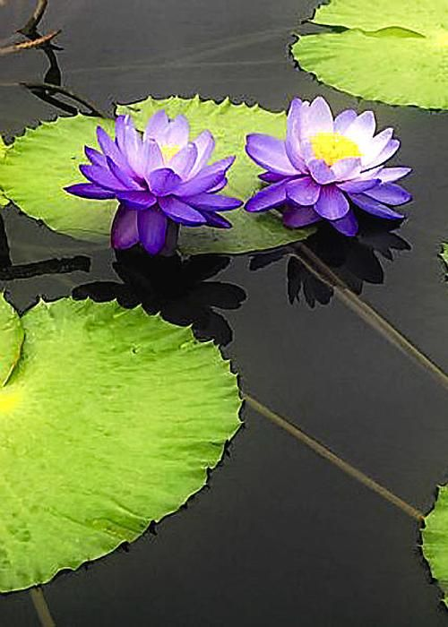 Lily pads purple greeting card for sale by timothy hacker for Lotus plant for sale