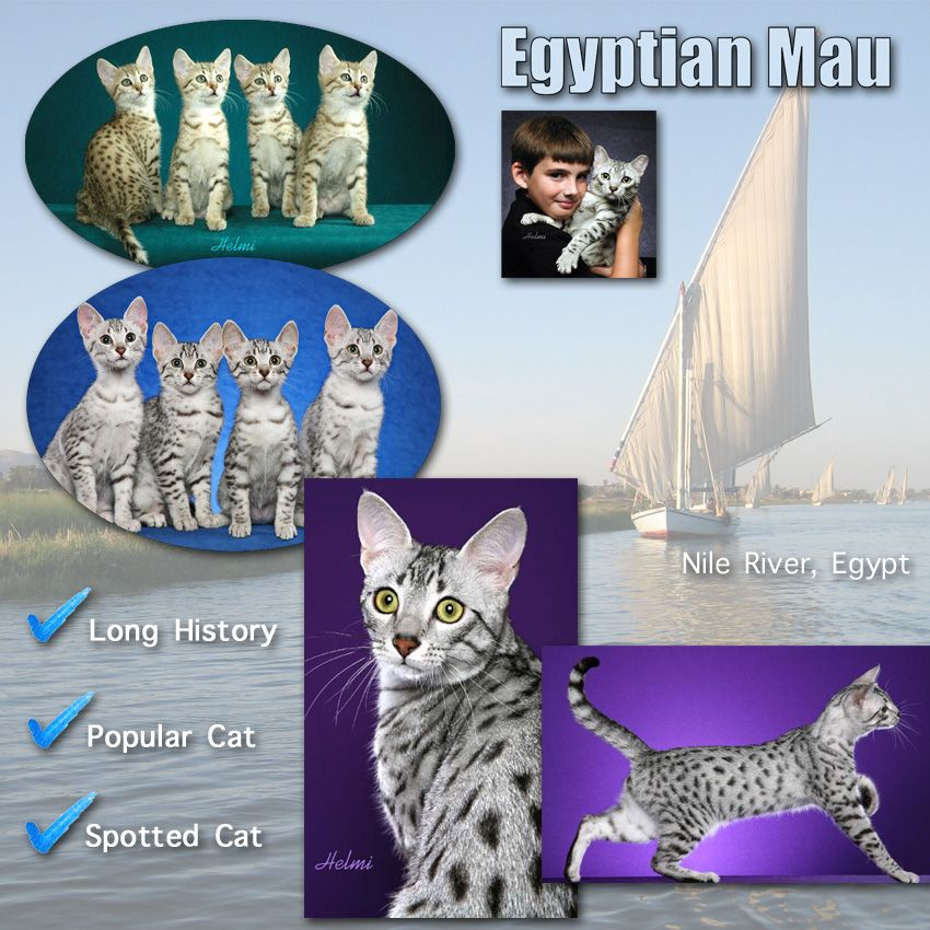 Egyptian Mau Cat Facts For Kids Cat facts, Egyptian mau
