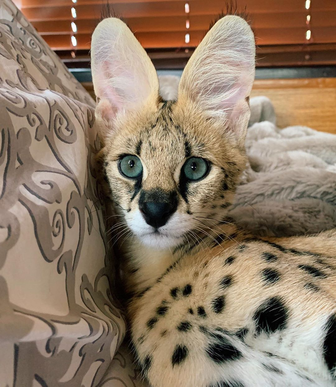 1 Moy Aresei 52 Sxolia Serval Family Sto Instagram Serval Serval Servalcat Kotiki Kitten In 2020 Serval Pet African Serval Cat Wild Cats