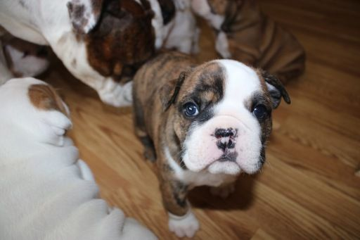 Litter Of 8 Bulldog Puppies For Sale In Brookfield Wi Adn 30313