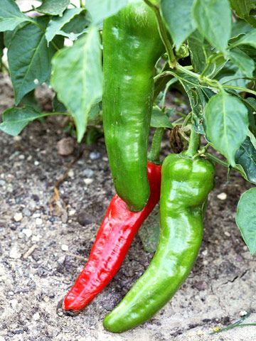Carmen Pepper Is A Sweet Bull Horn Type Pepper That Turns From Green To Red When Ripe About 75 Days Stuffed Peppers Hot Pepper Recipes Stuffed Bell Peppers