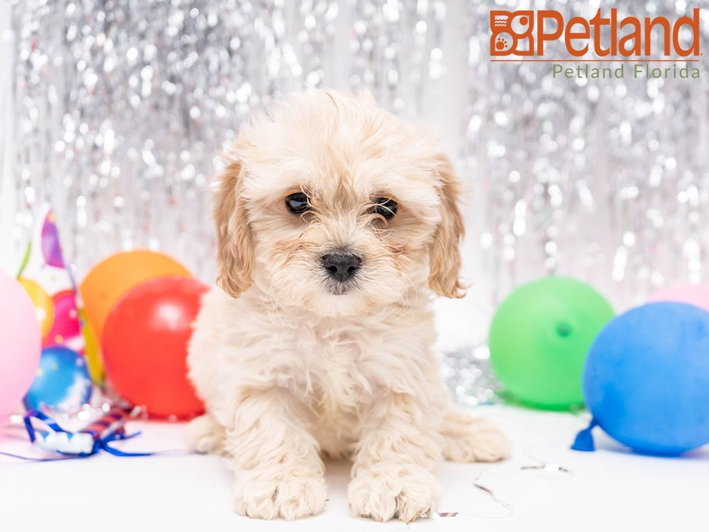 Petland Florida has Cavachon puppies for sale! Check out