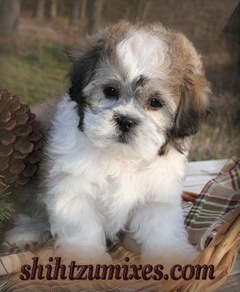 Teddy Bear Puppies Teddy Bear Puppies Shichon Puppies