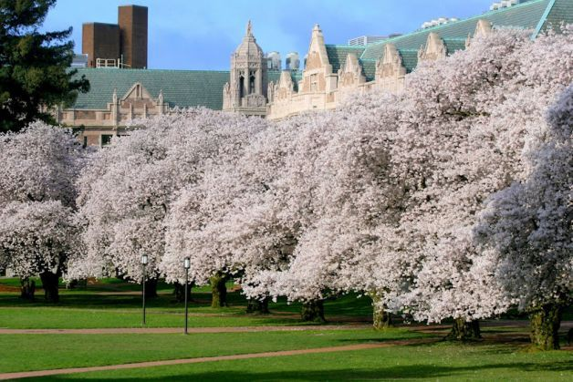 Cherry Trees Blossom At Uw Cherry Tree Yoshino Cherry Tree Magnolia Branch
