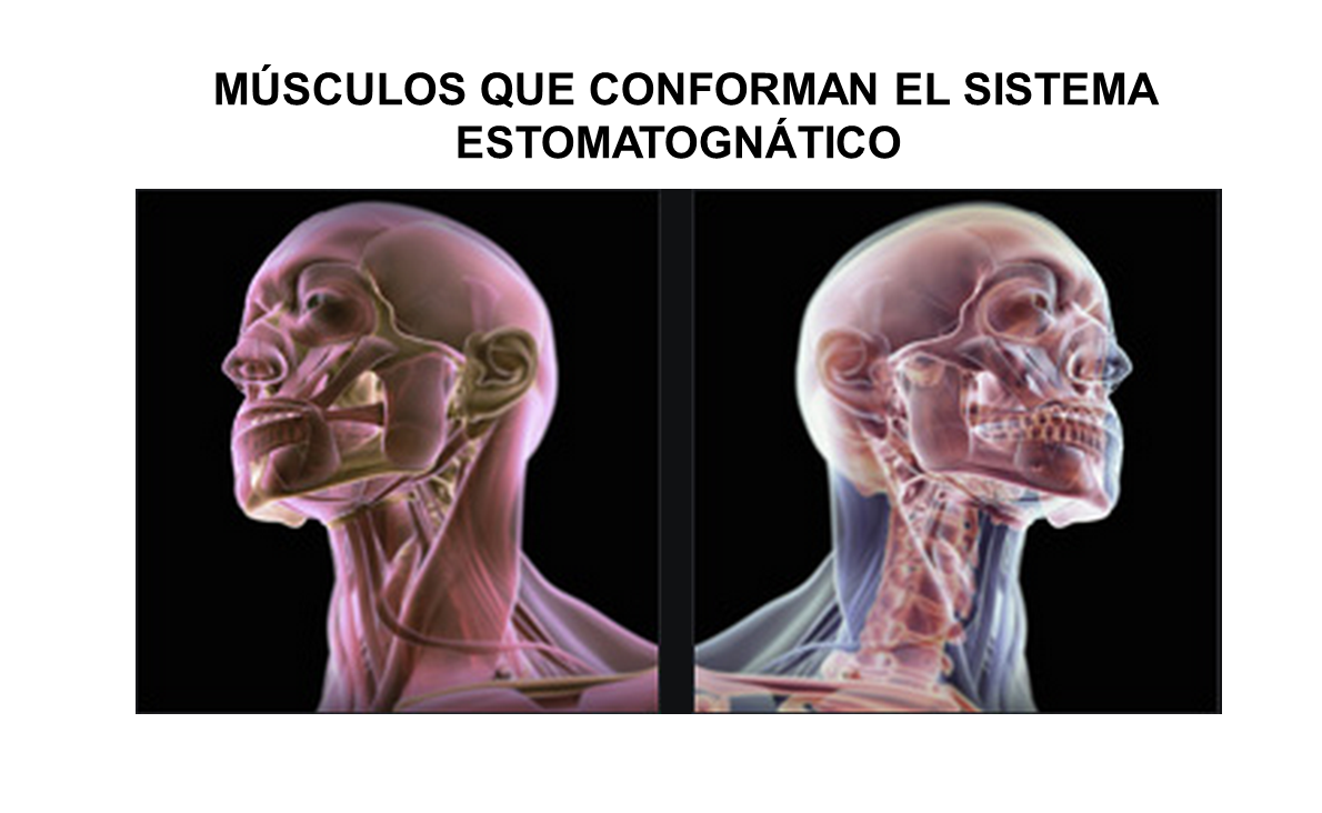 El sistema estomatognático correspondería a una unidad anatómica y ...
