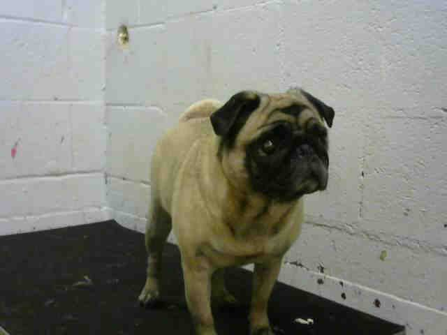 Pug Dog For Adoption In Atlanta Ga Adn 561801 On Puppyfinder Com