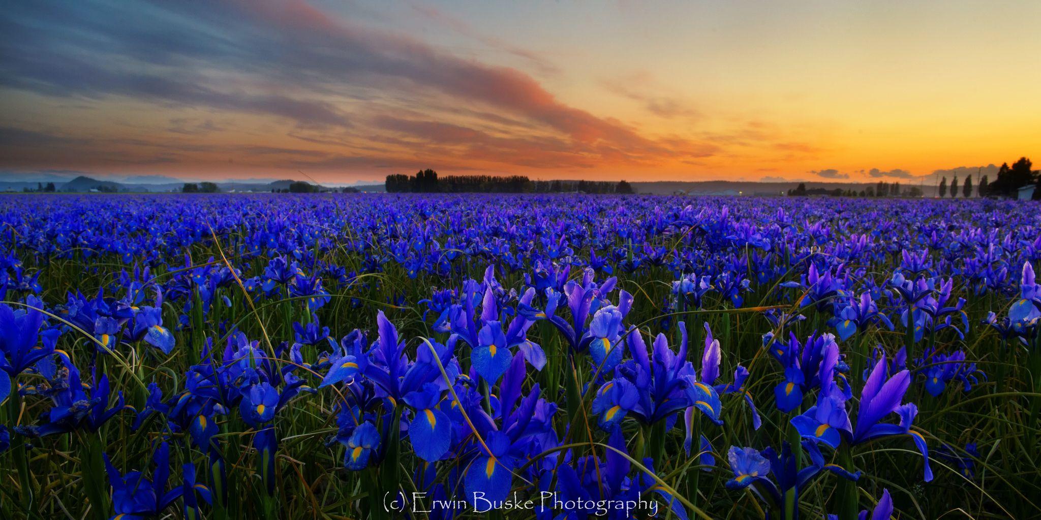 Wild Iris Just About My Favorite Thing In The World Flower Field Iris Wild Iris