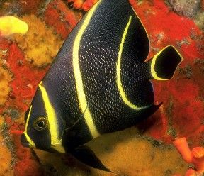 Saltwater aquarium angel fish fish are friends not food for Yellow fish tank water
