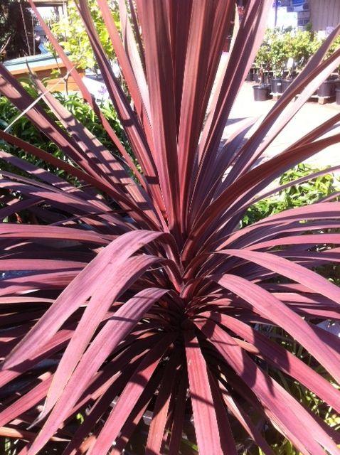 Cordyline Australis Red Star Another Onesie For Now Ornamental Cherry Backyard Garden Backyard Area
