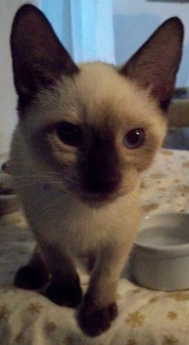 Bo With Sal Is An Adoptable Siamese Bombay Cat In New York Ny Bo Is An Adorable Sealpoint Siamese Bombay Mix Ma Havana Brown Cat Siamese Cats Kitten Adoption