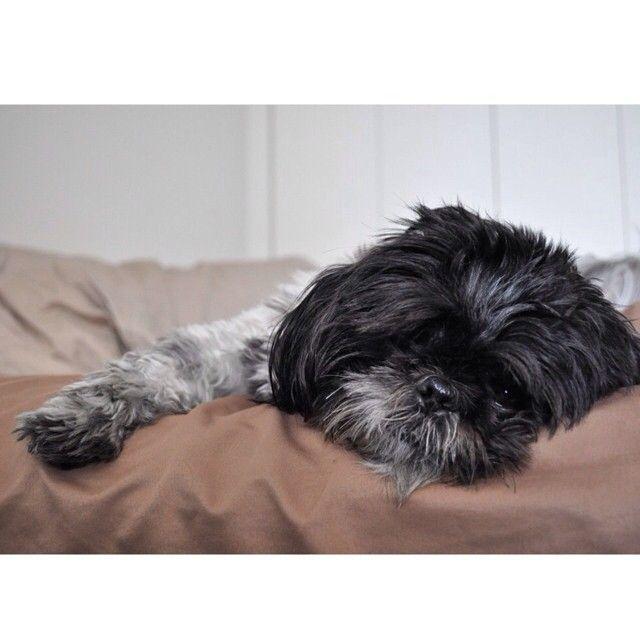 ©Oliver Bea (@oliverbeafromnyc) • Instagram photos and videos Cloudy day and I have the runs. Not cool.  #shihtzu #shihtzusofinstagramuse #shihtzulovers2 #pet #pets #petstagram #petsofinstagram #animal #animals #adorable #aplacetolovedogs #mydogisthecutest #dog #dogs #dogslife #dontlike #dogsofig #dogsofnyc #dogoftheday #dogstagram #weeklyfluff #ruffpost #huffpost #buzzfeed #buzzfeedanimals