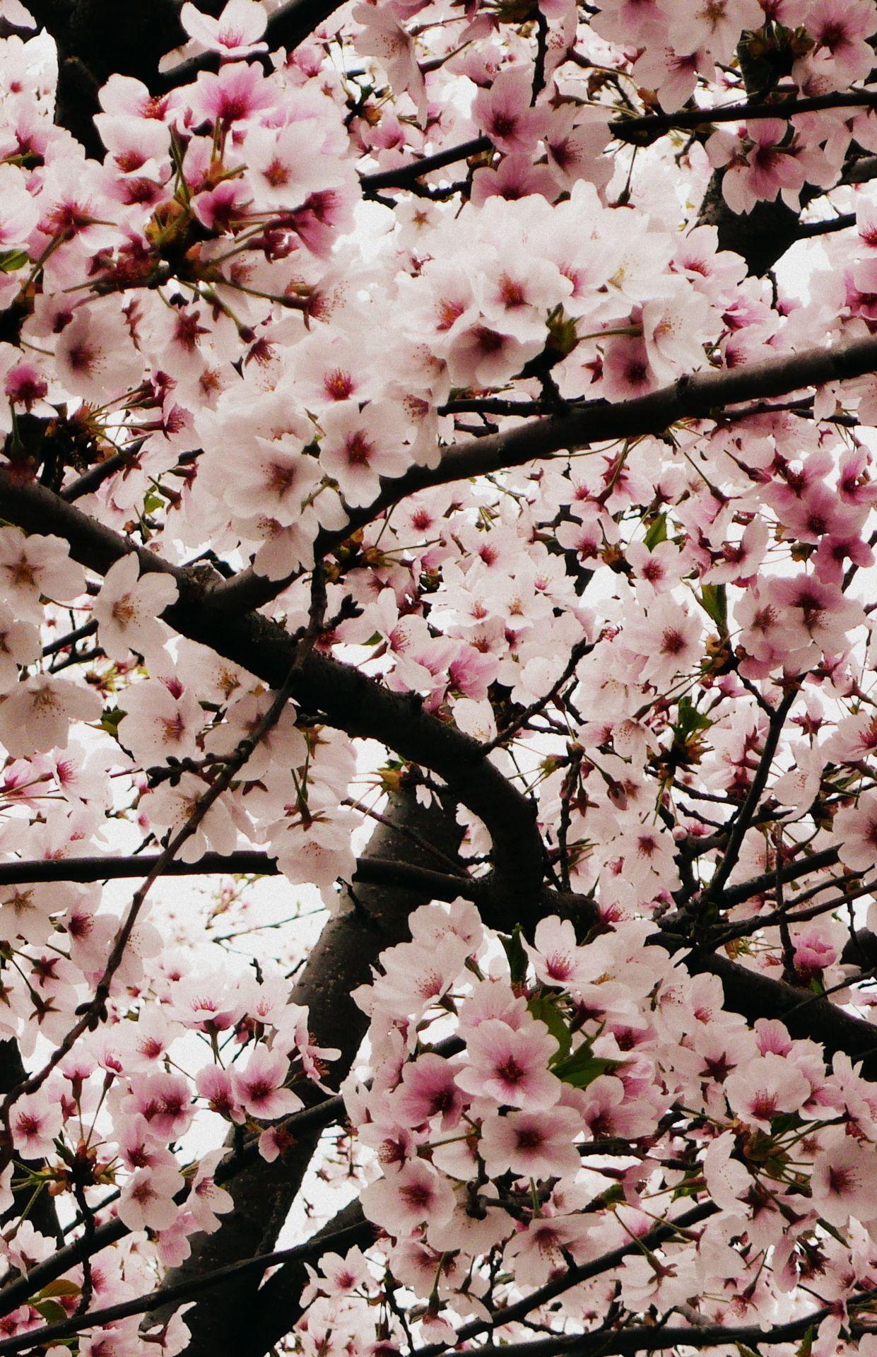 Vanity Is My Favorite Sin Cherry Blossom Wallpaper Blossom Trees Japanese Cherry Blossom