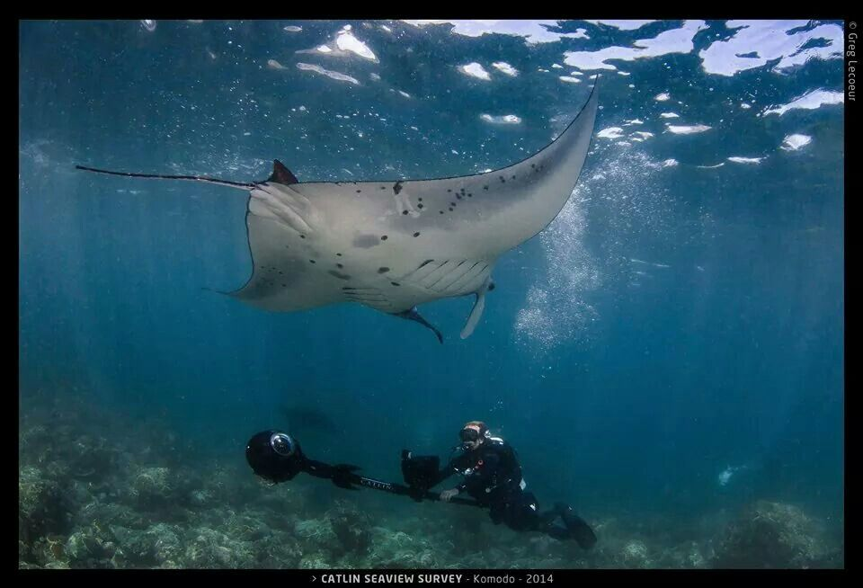 Manta Rays At Komodo Island Underwater Sea Fish