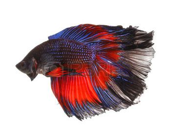 Betta Stock Photos Pictures Royalty Free Betta Images And Stock Photography Betta Betta Fish Siamese Fighting Fish