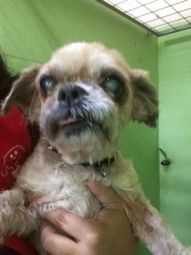 A ten-year-old Shih Tzu blind and shaking in fear has been