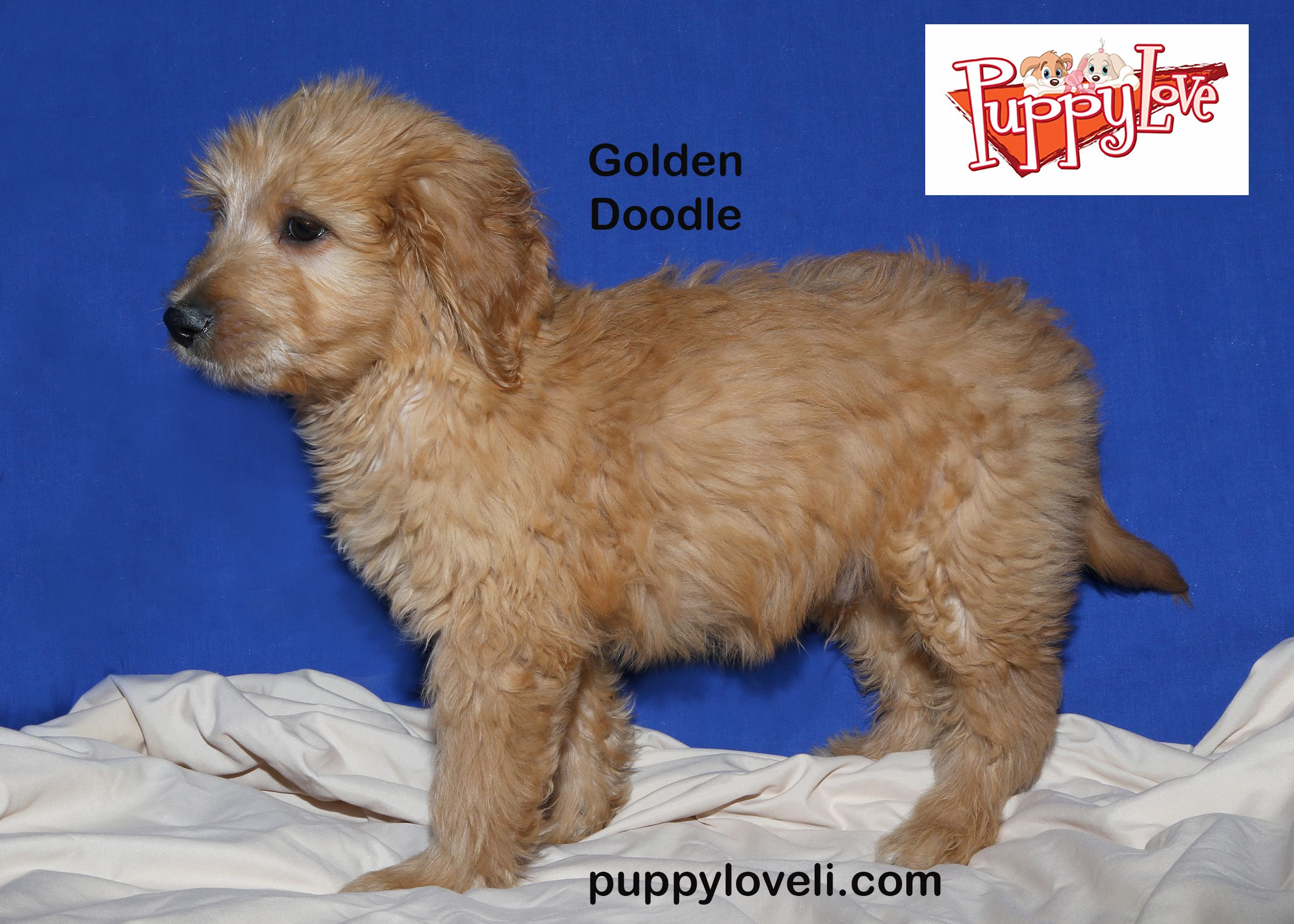 Golden Doodle For Sale On Long Island At Puppy Love In Franklin