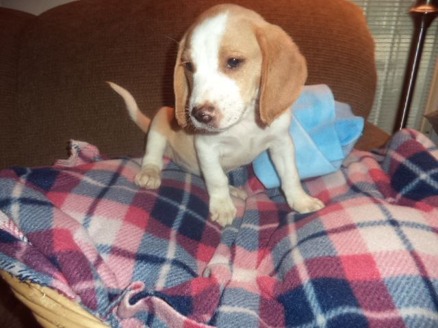 Litter Of 5 Beagle Puppies For Sale In Fresno Ca Adn 53976 On