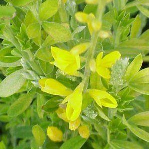 Genista maderensis nombre popular tipolog a arbusto de for Arbustos de hoja perenne resistentes al frio
