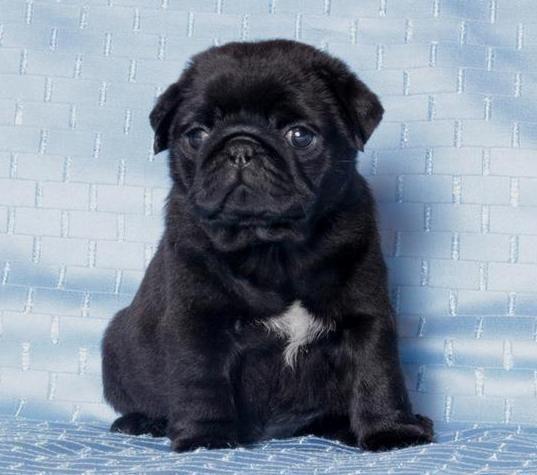 Cute Black Pug Puppy Black Pug Puppies Cute Pugs Cute Dogs