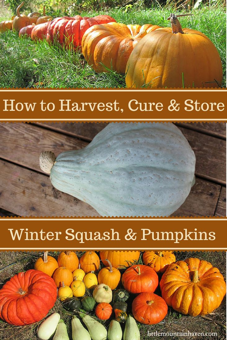 how to harvest cure u0026 store winter squash and pumpkins garden
