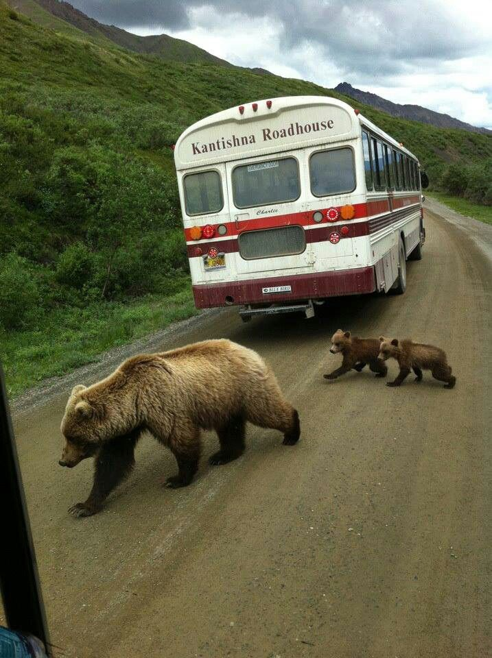 Bear crossing in Denali - our cabin company while in Denali.  I have other pics of these three.