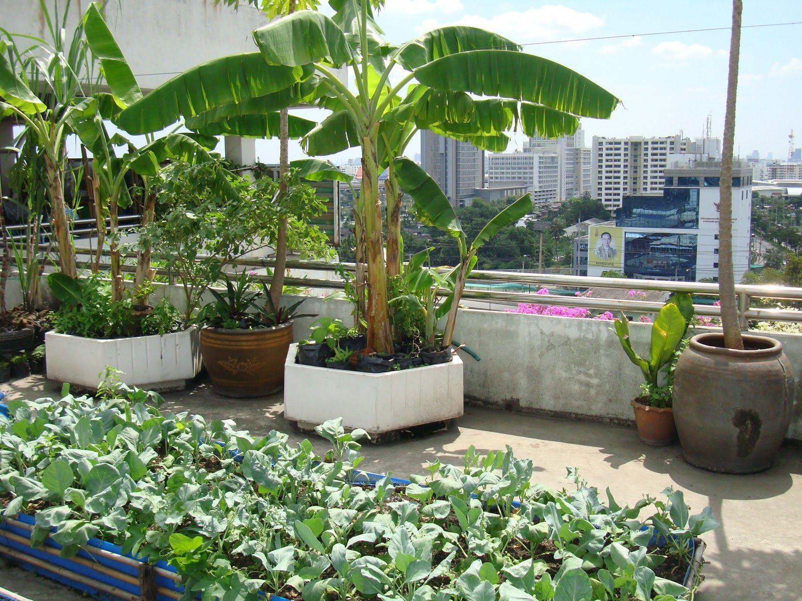 Banana Tree On Roof Garden Terraced Vegetable Garden Garden