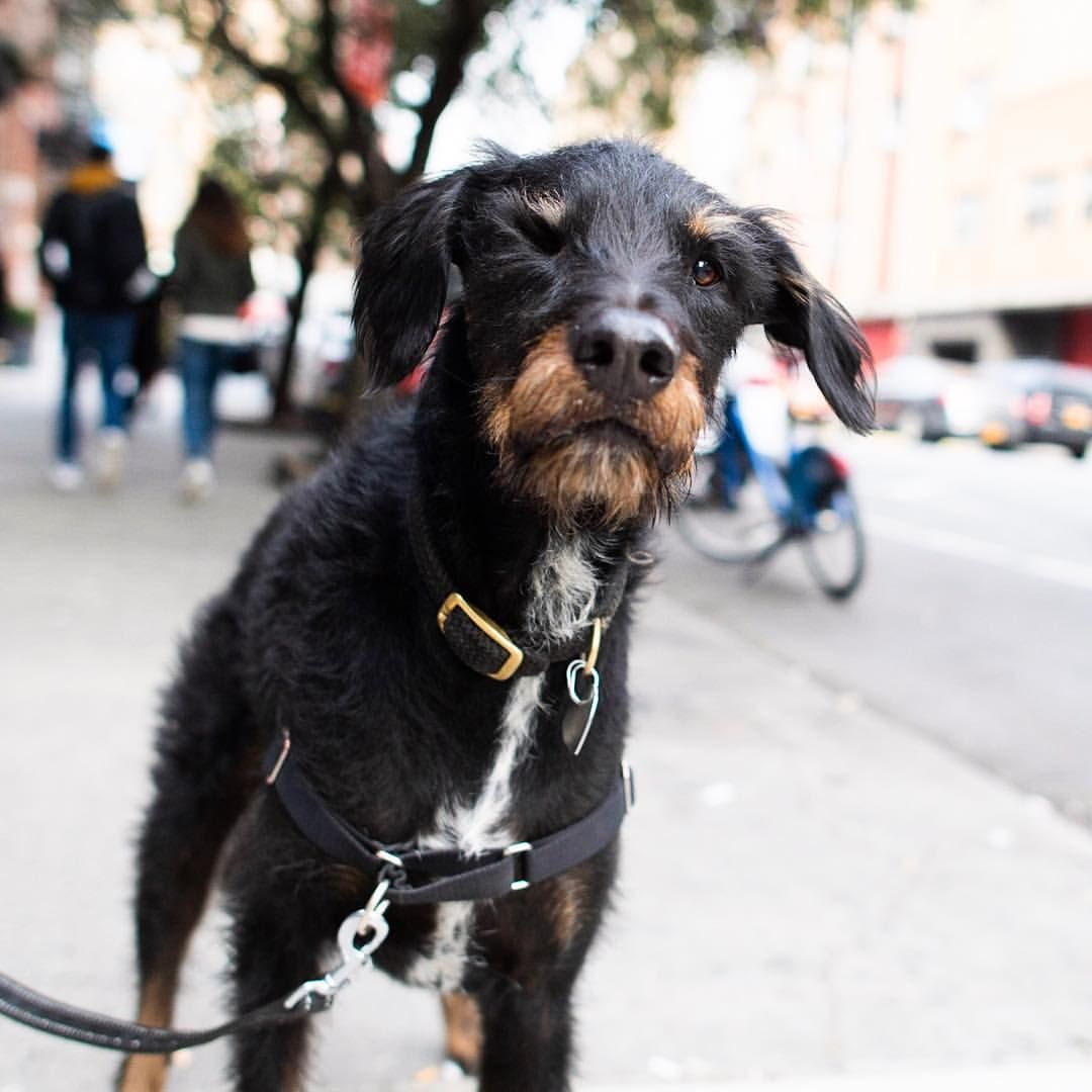 Walter Doberman Pinscher Wirehaired Pointing Griffon Mix 6 Y O