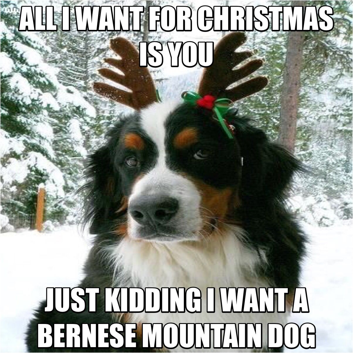 Bernese Mountain Dog Christmas Pictures