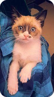 Prattville Al Domestic Shorthair Meet Lynn 20586 A Kitten For Adoption Http Www Adoptapet Com Pet 11166545 Prattville Kitten Adoption Pets Pet Adoption