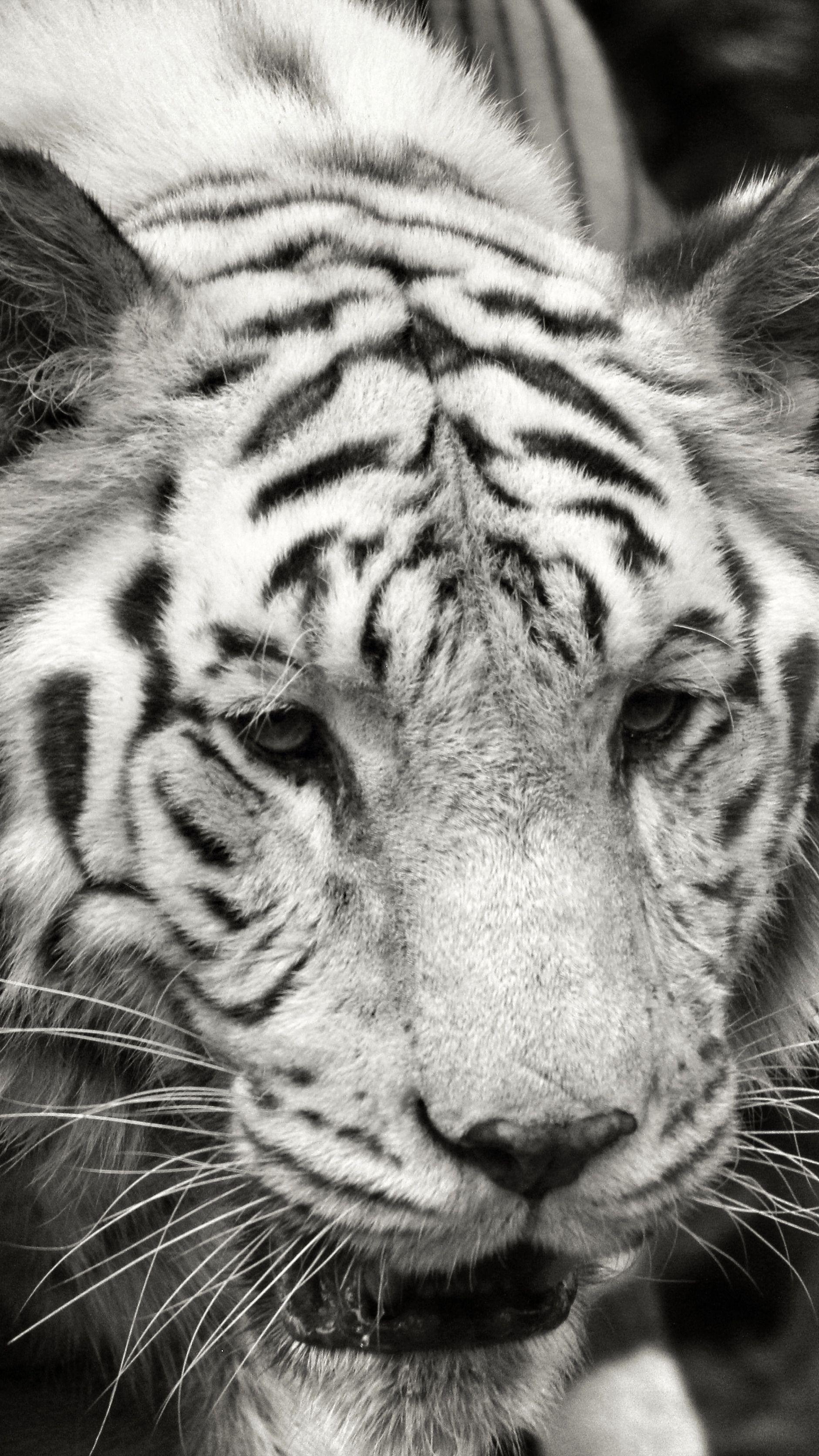 Alert, white tiger