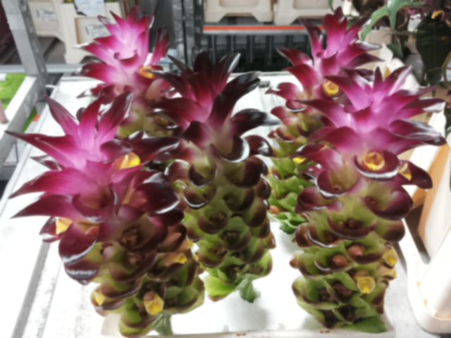 #Curcuma #PurpleFlash; Available at www.barendsen.nl