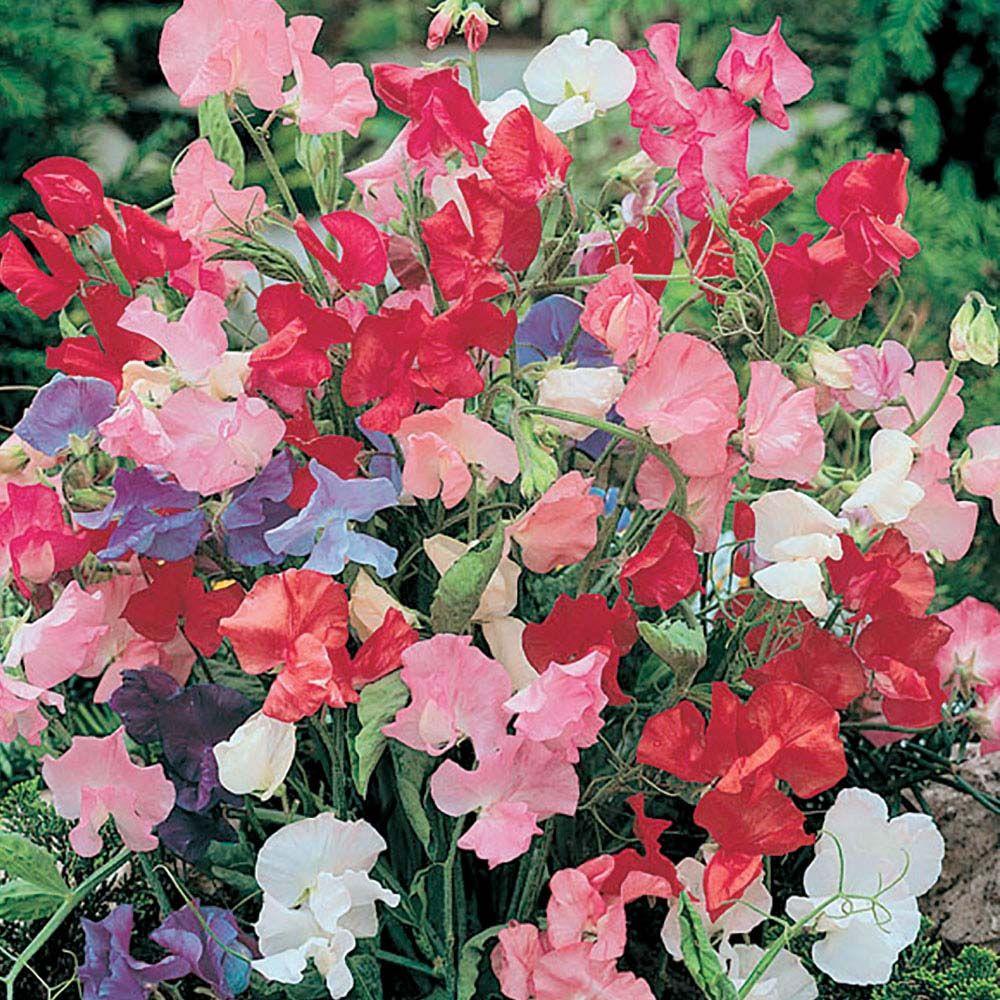 Sweet pea bijou mixed seedslathyrus odoratus plants sweet pea bijou mixed seeds hardy annual seeds van meuwen izmirmasajfo