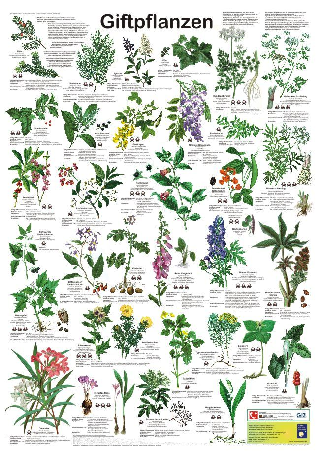 poster von planet poster editions kinderpostershop giftpflanzen giftige pflanzen und garten. Black Bedroom Furniture Sets. Home Design Ideas