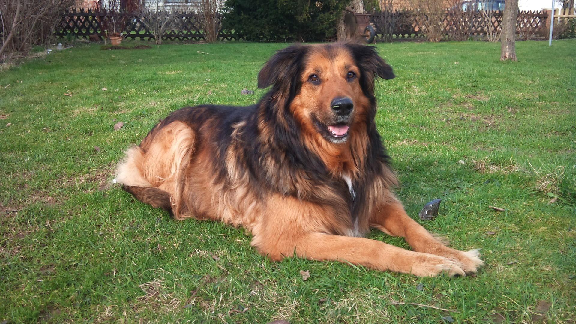 Luna Collie Deutscher Schaferhund Hovawart Mischling Mix Collie Hovawart Schaferhunde