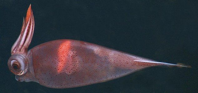 Taonius Borealis Deep Sea Squid Deep Sea