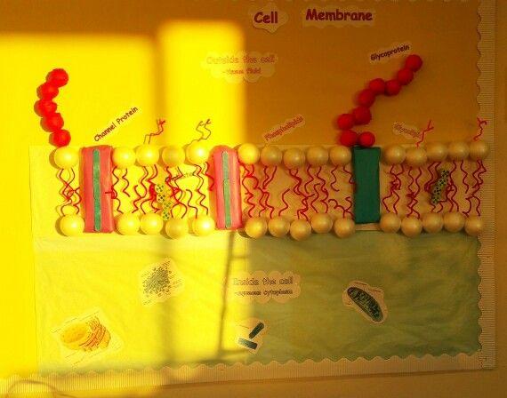Cell membrane model | classroom | Biology classroom, Biology