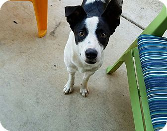 Davis In Yolo County Ca Border Collie Mix Meet Max A Dog For Adoption Http Www Adoptapet Com Pet 16796642 Cornin Border Collie Collie Border Collie Mix