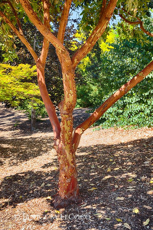 Strawberry Tree Arbutus Marina Foliage Plants Plants Strawberry Tree