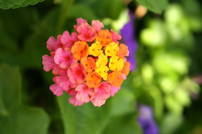 12 Annuals To Overwinter Indoors Annual Plants Lantana Flower Lantana Plant
