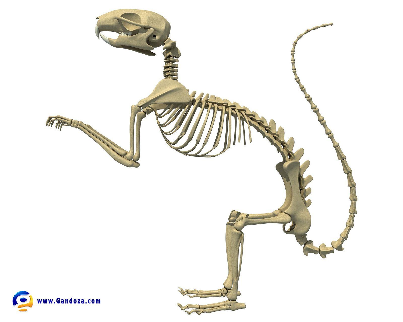 squirrel skeleton pinterest squirrel skeletons and 3d rh pinterest co uk Squirrel Organs Diagram Squirrel Monkey Diagram