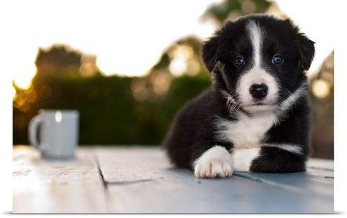 Poster Print Wall Art Print Entitled Coffee With A Border Collie Puppy None Collie Puppies Border Collie Puppies Border Collie