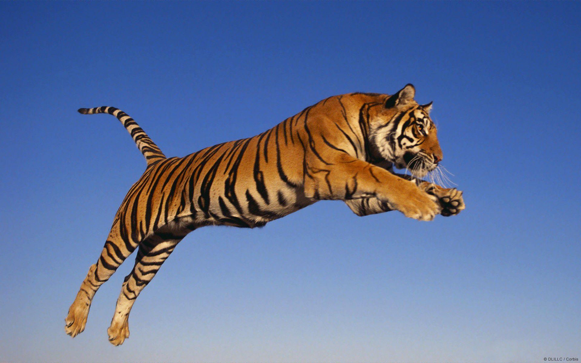 tiger hd wallpapers wallpaper 1920×1080 tiger hd wallpapers for