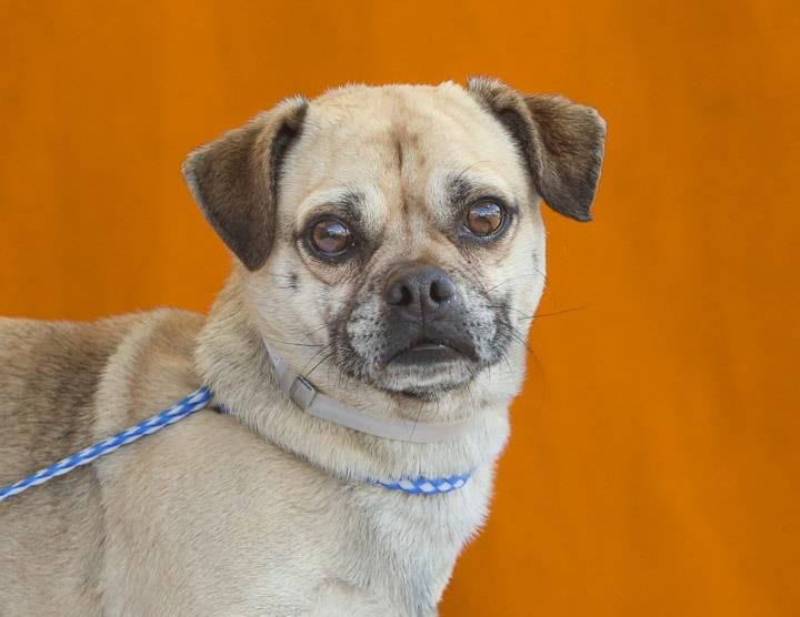 Puggle Dog For Adoption In Pasadena Ca Adn 440048 On Puppyfinder
