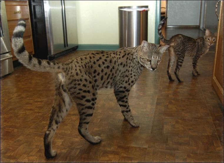 The Biggest And The Most Expensive Home Cat Savannah Savannah