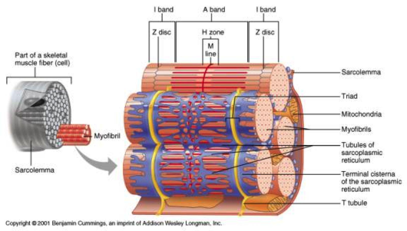 Muscle Fiber Image Unlabeled Muscle Fiber Image Unlabeled Study Guide Torry Lichaam Spelletjes