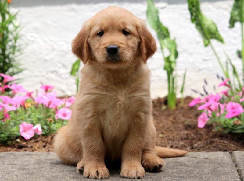 Twinkle Cavachon Puppy For Sale Keystone Puppies Cute Baby Puppies Cavachon Puppies Puppies