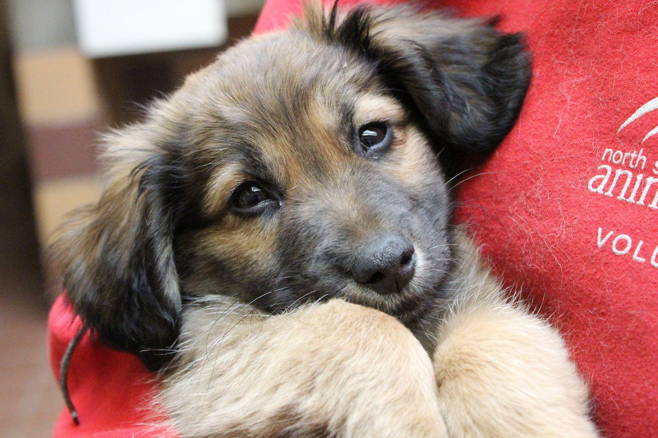 North Shore Animal League America Animal League German Shepherd Mix Puppies Puppies